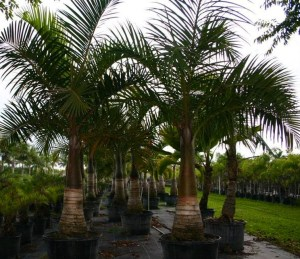 Spindal Palm