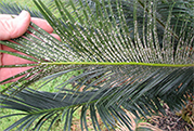 Asian Cycad Scale