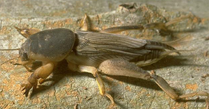 southern_mole_cricket