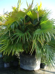 Chinesse Fan Palm