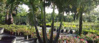 Multi Trunck Areca Palm